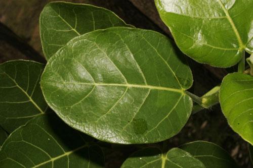 Daun Atas Ficus Glumosa