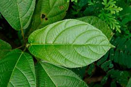 Daun Ficus Hispida