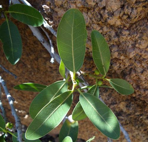 Daun Ficus Ilicina