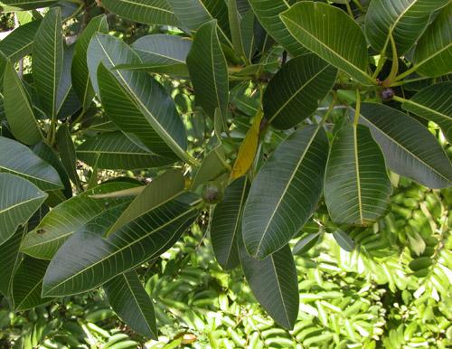 Daun Ficus Insipida