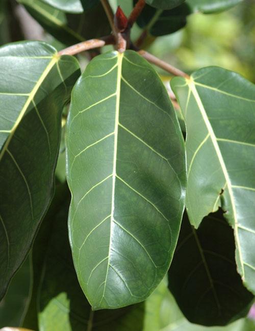 Daun Ficus Lutea