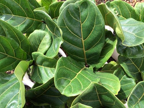 Daun Ficus Lyrata Pohon Biola Cantik