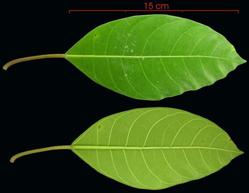 Bentuk Daun Ficus Maxima