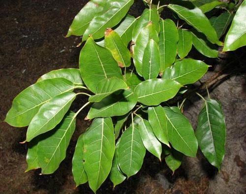 Daun Ficus Nota