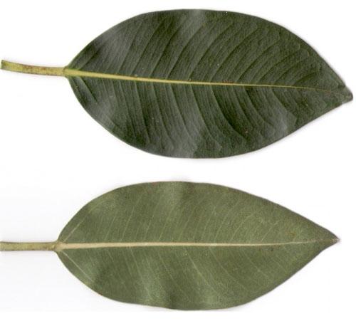 Daun Ficus Oblique