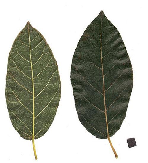 Daun Ficus Opposita
