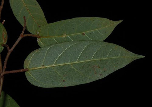 Daun Ficus Pantoniana