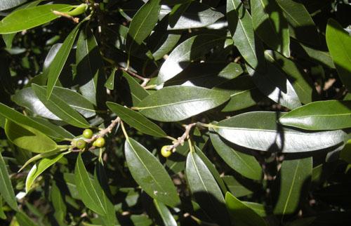 Daun Ficus Platypoda