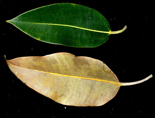 Daun Ficus Pleurocarpa