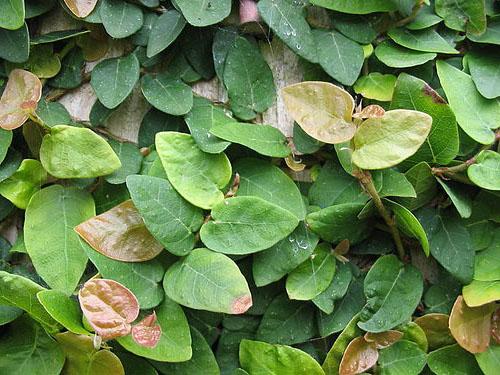 Daun Ficus Pumila