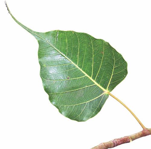 Daun Ficus Religiosa