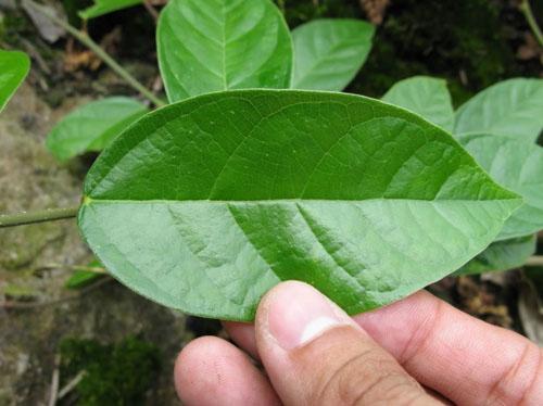 Daun Ficus Sarmentosa