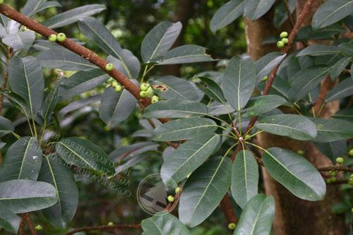 Daun Ficus Subpisocarpa