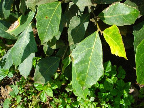 Daun Ficus Tinctoria