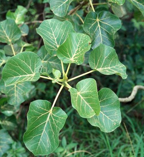 Daun Ficus abutilifolia