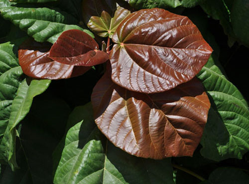 Daun Muda Ficus Auriculata