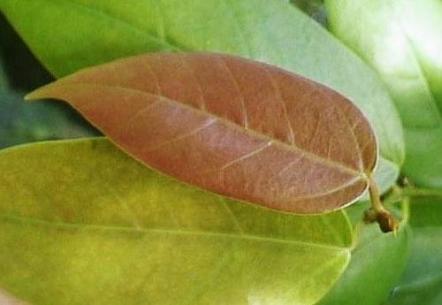 Daun Muda Ficus Pantoniana