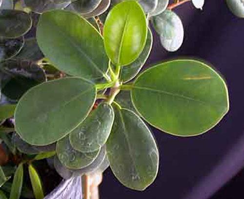 Daun Pohon Kimeng Ficus Microcarpa