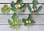 Bentuk Daun Pohon Tin Ficus Carica