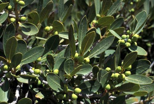 Daun dan Buah Ficus Ilicina