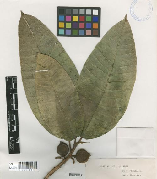 Daun dan Buah Ficus Lacunata