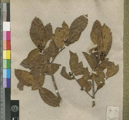 Ficus Mutabilis