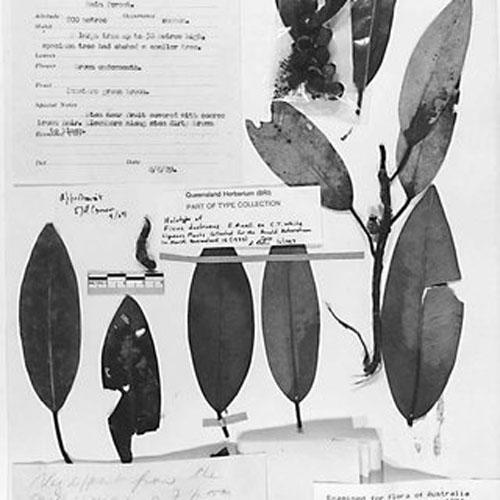 Holotype Daun Ficus Subpuberula