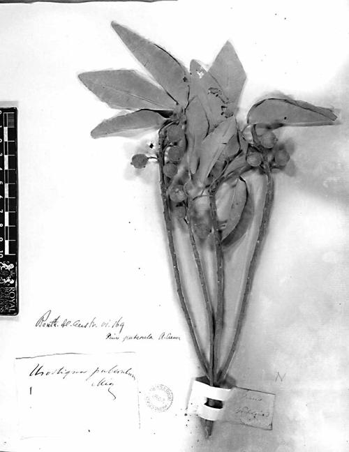 Holotype Ficus Subpuberula