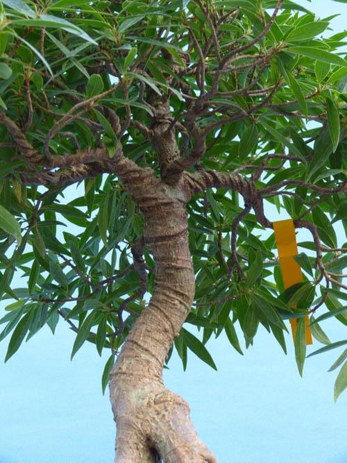 Tanaman Beringin Afrika Ficus Neriifolia