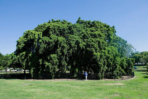 Pohon Beringin Ficus Benjamina