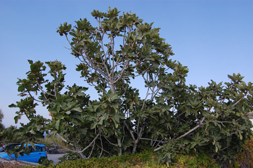 Pohon Buah Tin / Ficus Carica
