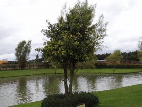 Pohon Ficus Americana