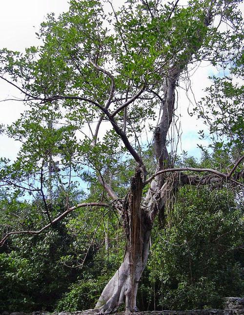 Pohon Ficus Aurea