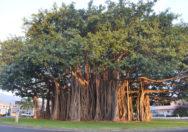 Pohon Ficus Benghalensis