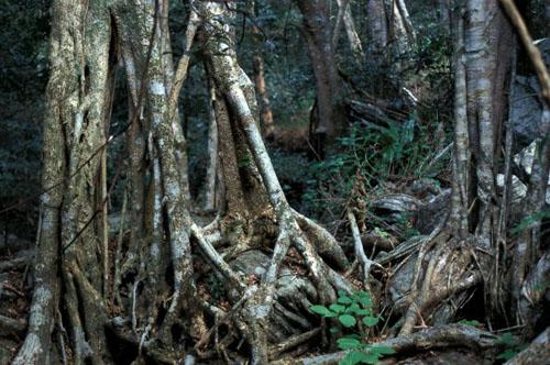 Pohon Ficus Bizanae