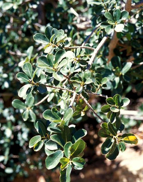 Pohon Ficus Burtt-davyi