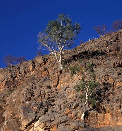 Pohon Ficus Cordata