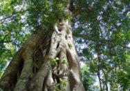 Pohon Ficus Craterostoma