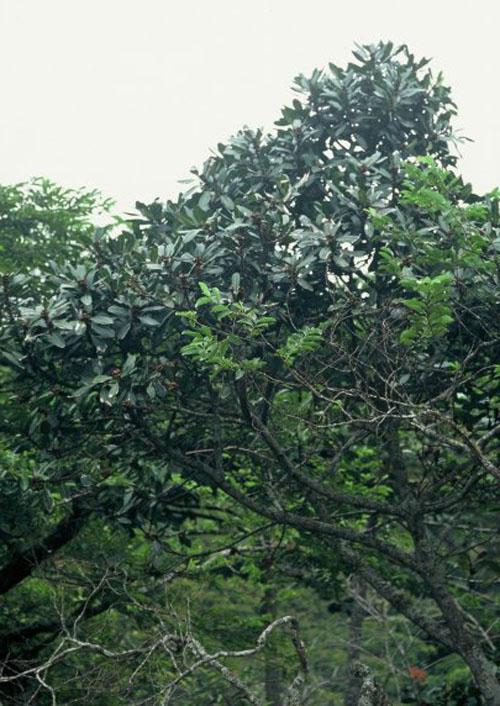 Pohon Ficus Cyathistipula