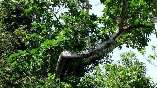 Pohon Ficus Cyclophylla