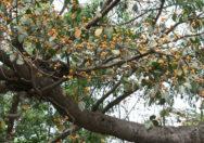 Pohon Ficus Drupacea