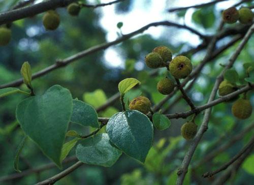 Pohon Ficus Exasperata