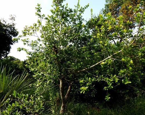 Pohon Ficus Faulkneriana