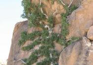 Pohon Ficus Ilicina