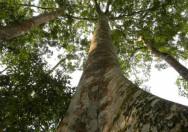 Pohon Ficus Insipida