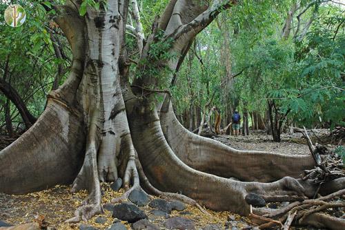Pohon Ficus Insipida Sonora