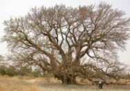 Pohon Ficus Lutea