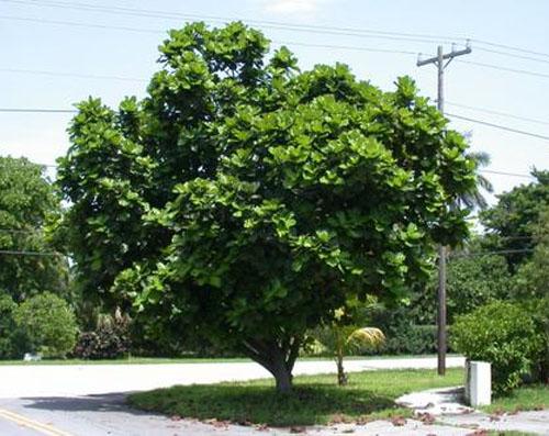 Pohon Ficus Lyrata Pohon Biola Cantik