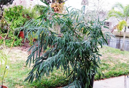 Tanaman Ficus Maclellandii