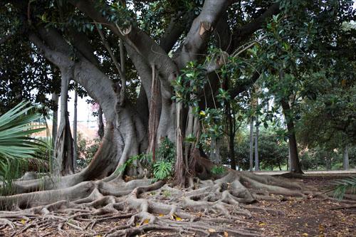 Pohon Ficus Macrophylla